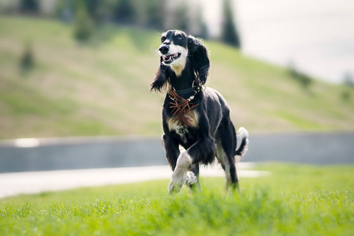 Saluki dog running in field