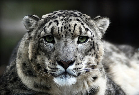 snow leopard rare animal sightings