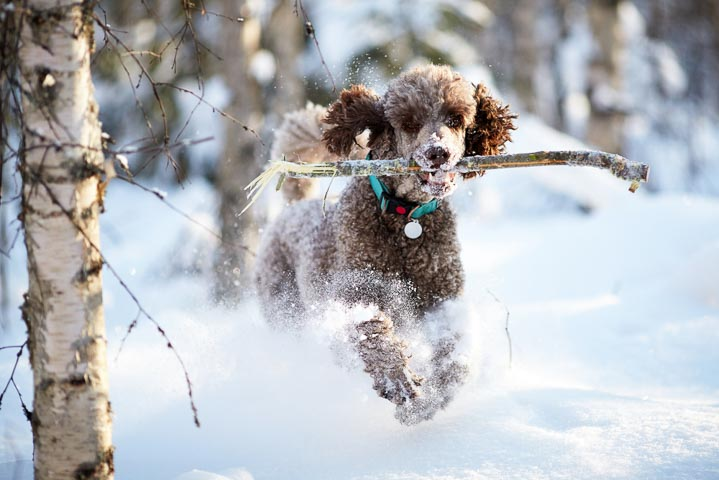 Standard Poodle running in the snow