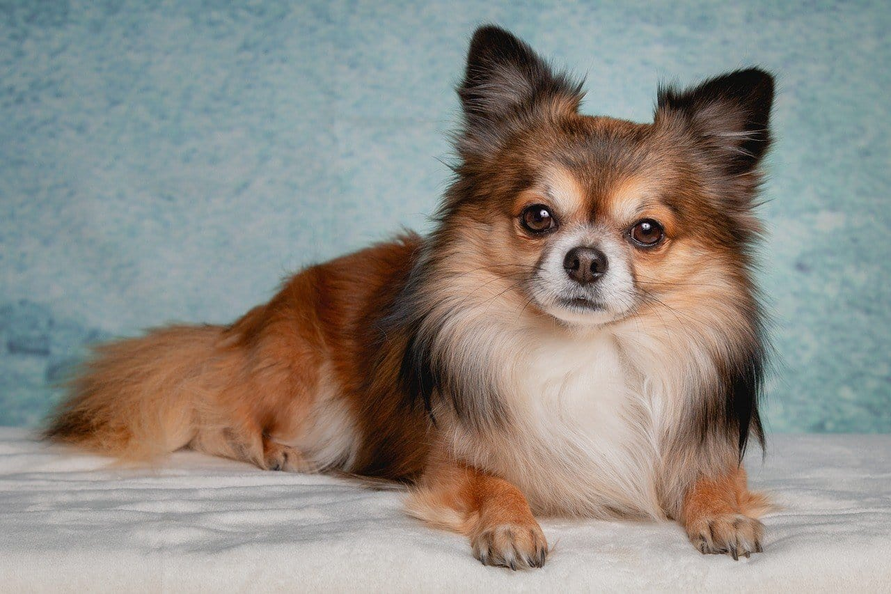 Pomeranian - caring for older small dogs