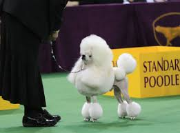 Westminster Kennel Club Dog Show - How to Watch the Small Breeds