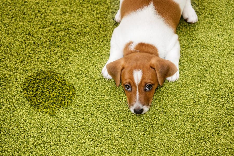 A Homemade Mixture For Cleaning Dog Pee Out Of Your Carpet