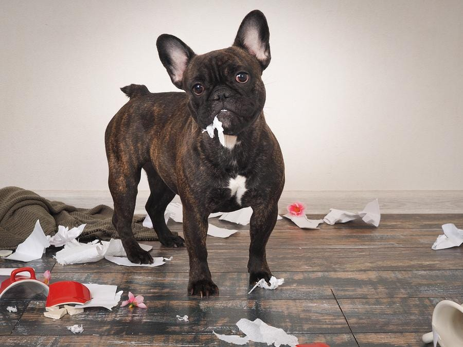 french bulldog mess