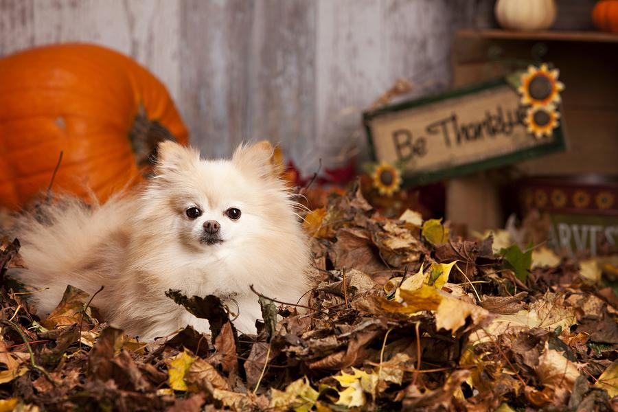 thanksgiving food bad for dogs