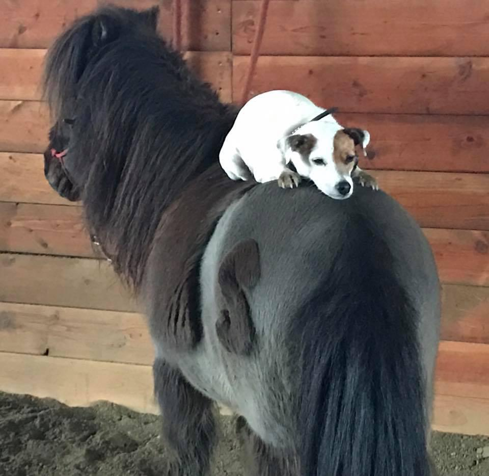 Dally the Horse Riding Jack Russell Terrier.