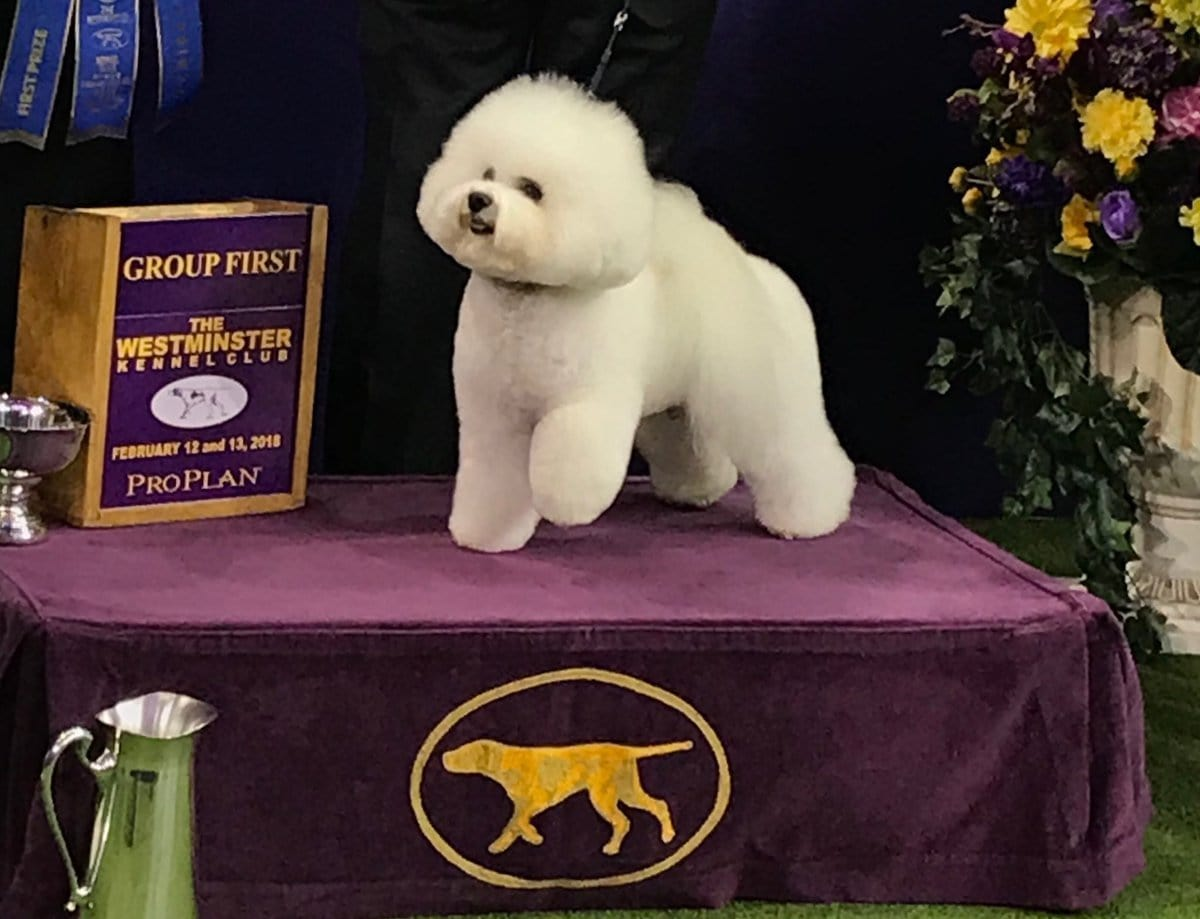 westminster dog show - flynn the bichon frise