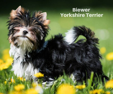 Biewer Terrier