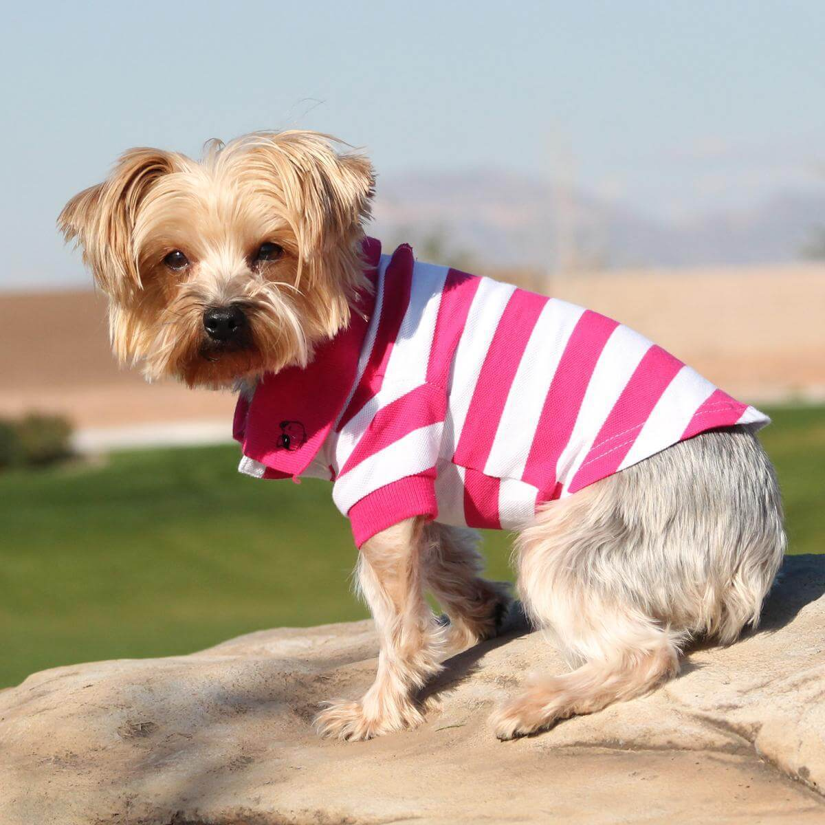 doggie design dog polo shirt - pink and white on yorkie