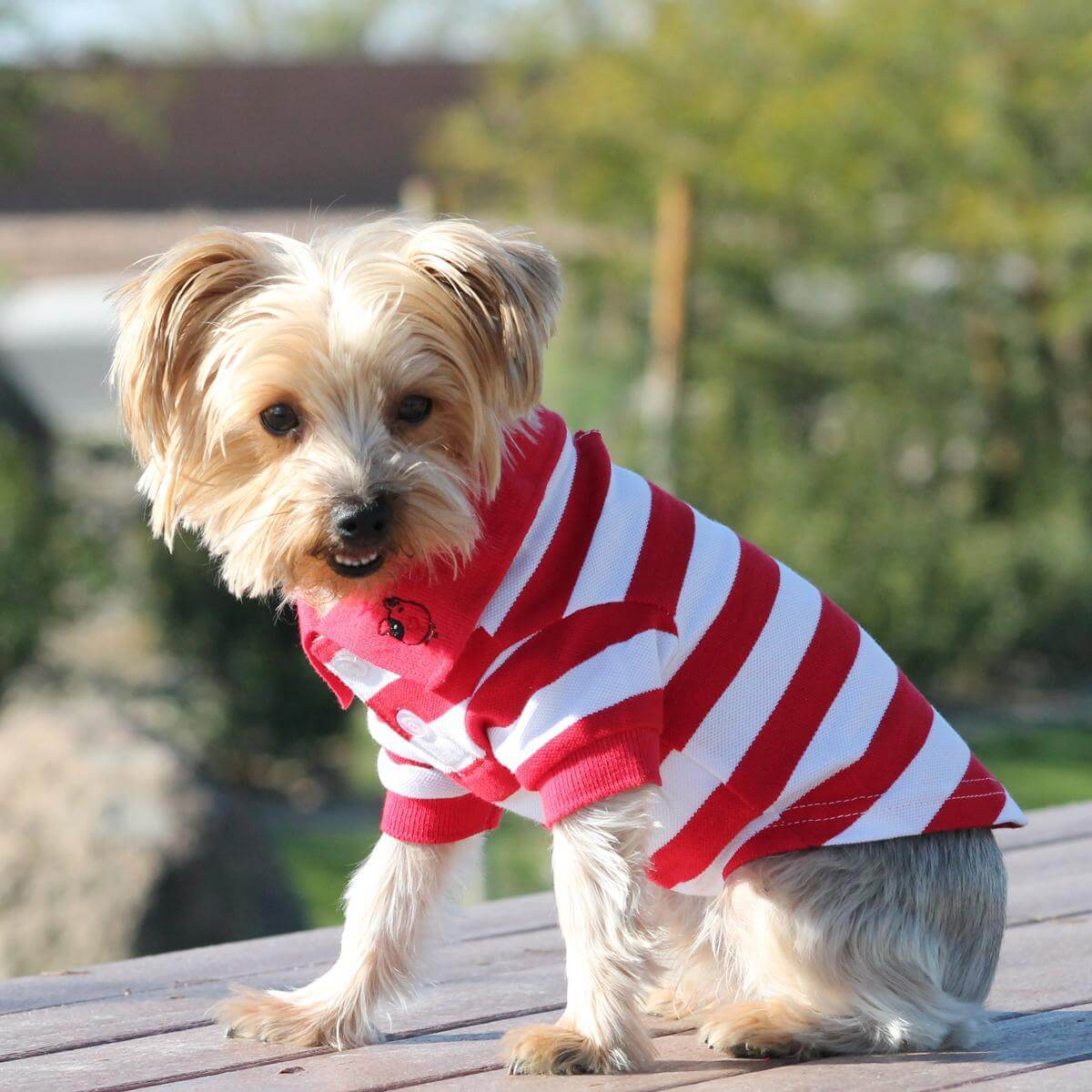 doggie design dog polo shirt - red and white on yorkie