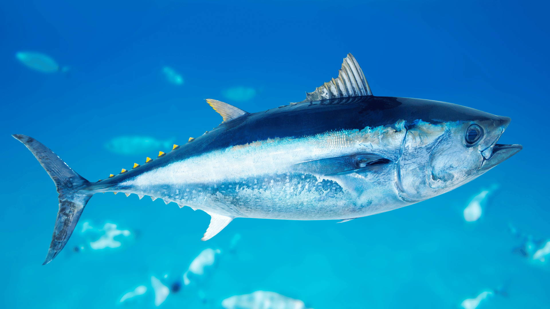 Tuna Overfishing: Causing Bluefin Tuna Extinction