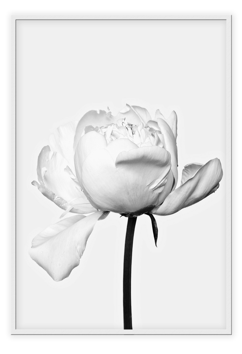 White Rose Vintage Single Rose Nature Floral Nature Flowers  Print Wall Print Framed Art Poster Image Online Photo Painting