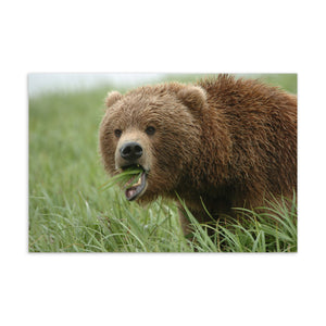 Brown Bear Postcard