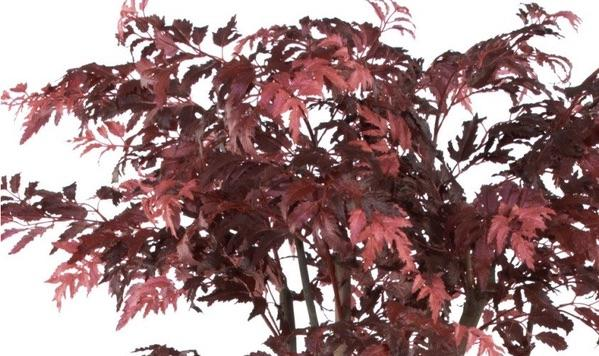 Artificial Red Maple Aralia Tree Extra Large  *Special Order*