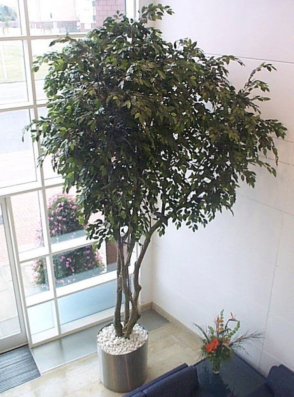 artificial ficus trees green or variegated extra large allissias attic u0026 vintage french - Ficus Trees