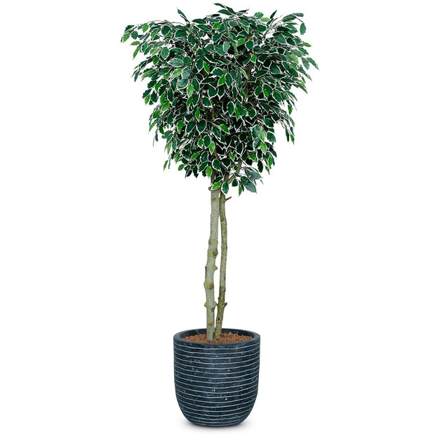Ficus Benjamina Artificial Tree - Veriegated Leaf