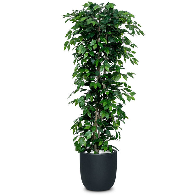 Ficus Nitida Artificial Tree