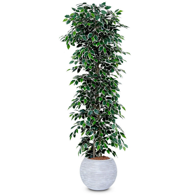 Ficus Nitida Artificial Tree - Variegated Leaf