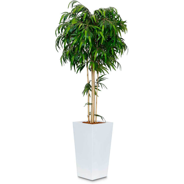 Bamboo Mop Head Tree