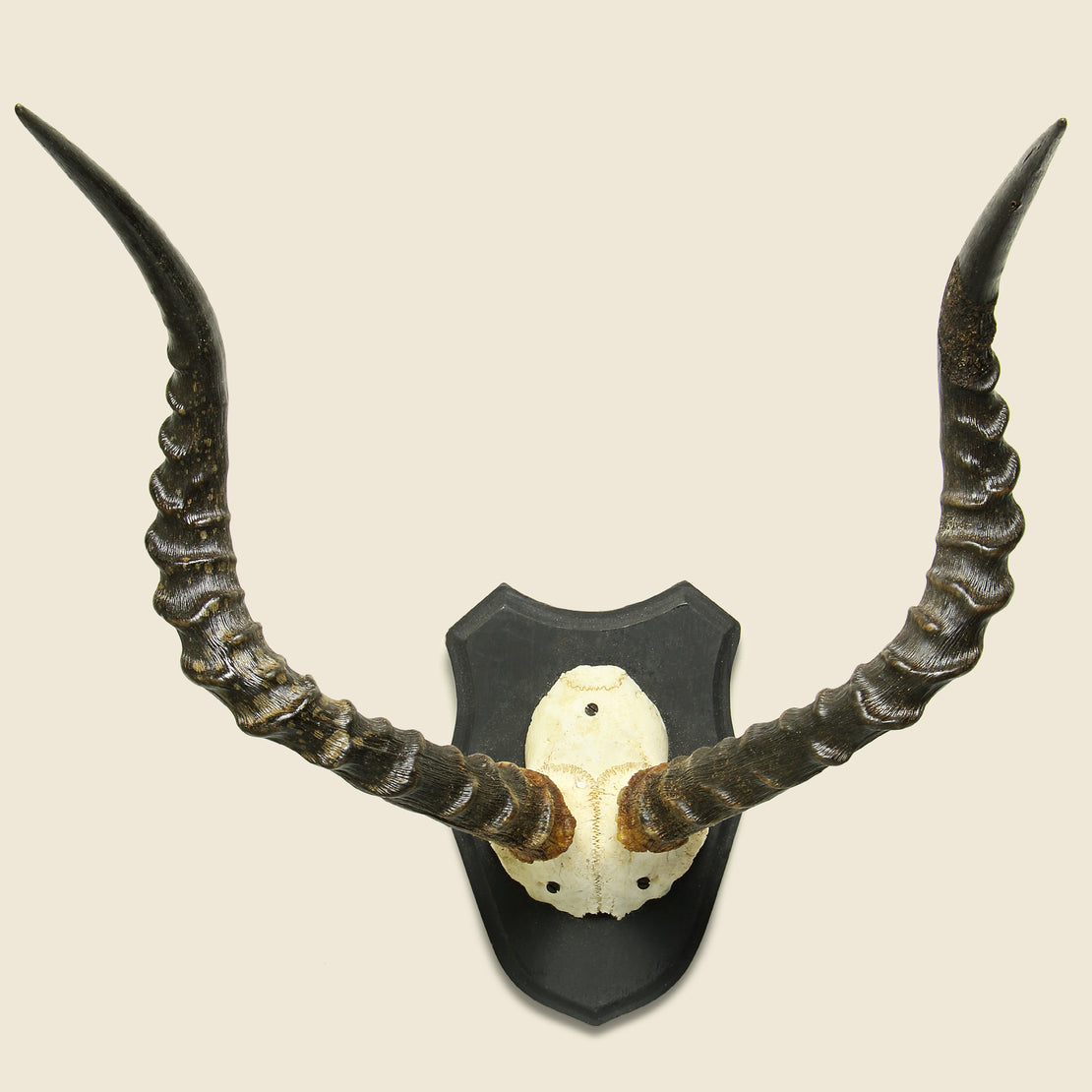 Vintage Mounted Horns - Addax