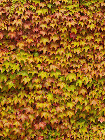 Leaves Wall Photography Background / 3414 - DropPlace