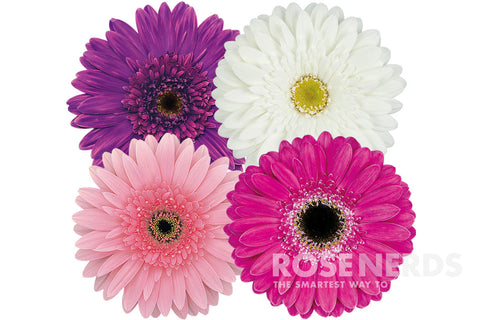 mothers day wholesale daisies