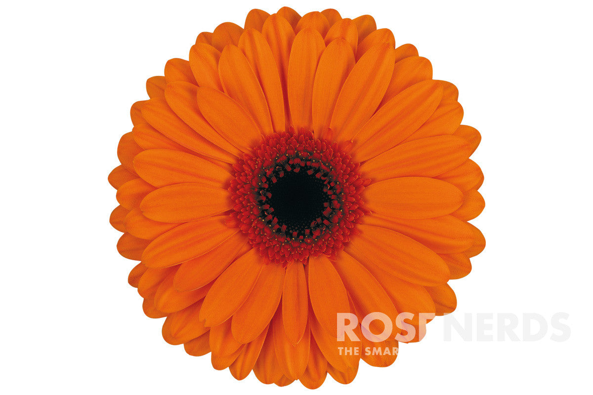 Wholesale Orange Spray Roses - 120 Stems