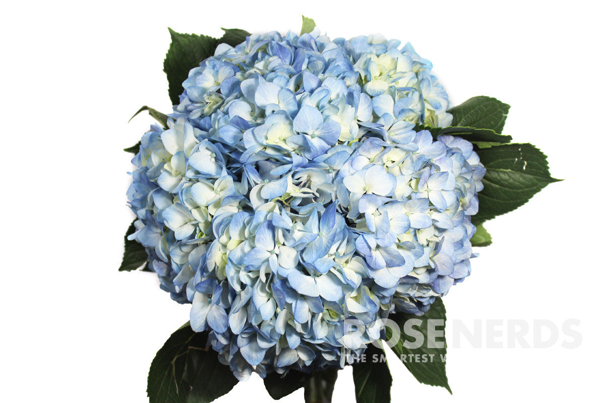 Wholesale blue flowers wholesale mixed white blue hydrangea 40 stems dhlflorist Gallery