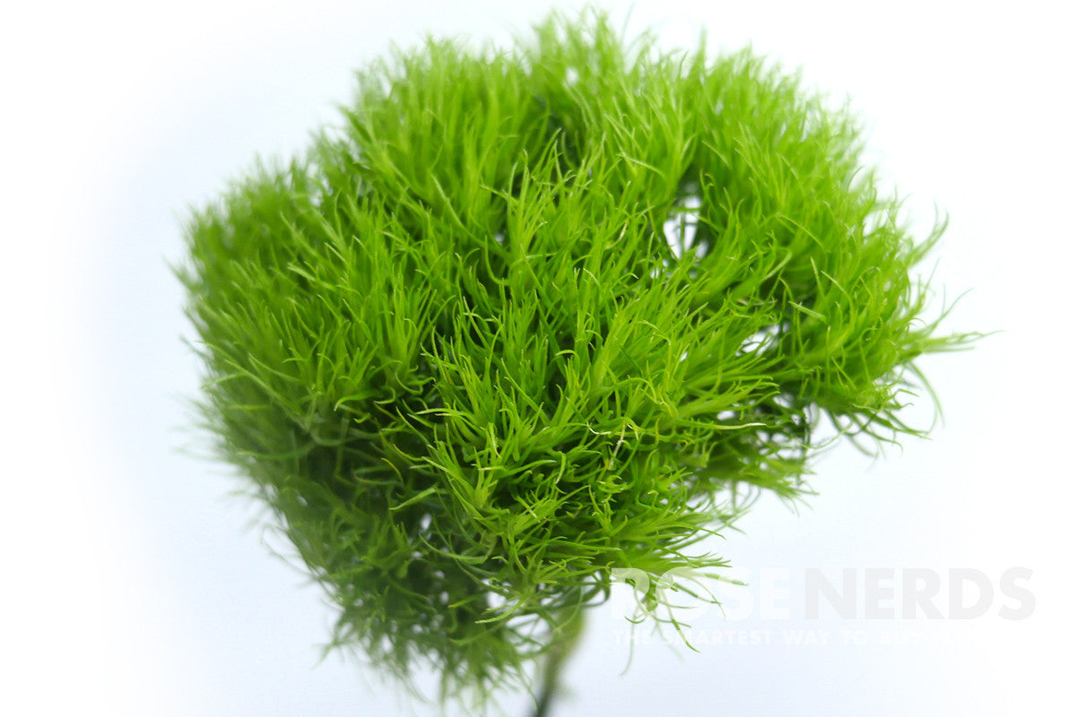 wholesale 'green trick' green ball dianthus flower, Natural flower