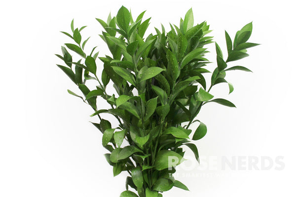 Wholesale Israeli Ruscus Filler Flowers Wedding Israeli Ruscus Filler Flowers