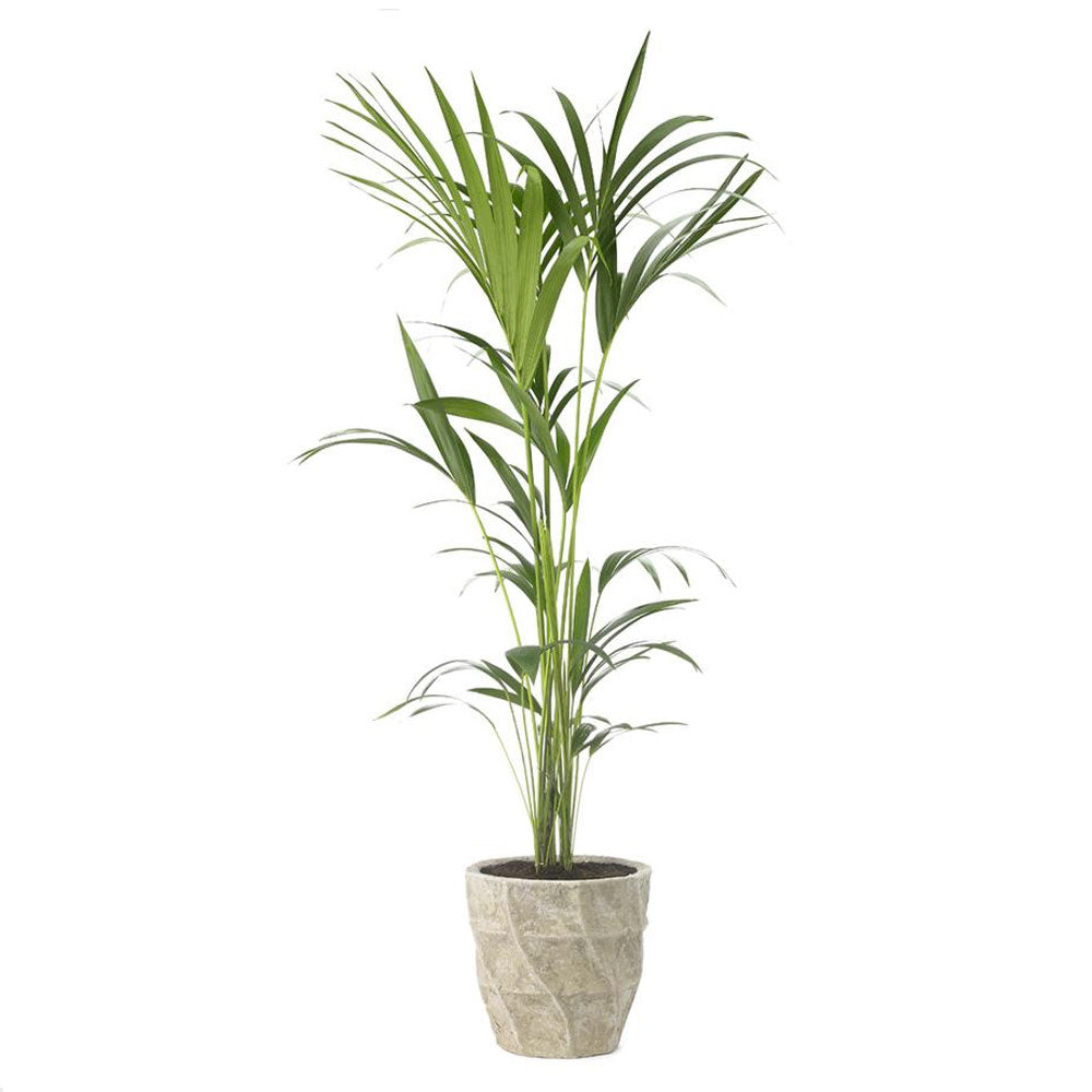 Kentia Palm Plant by Grace & Thorn | Do Shop