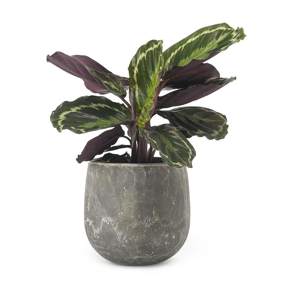 Calathea Medallion Plant by Grace & Thorn | Do Shop