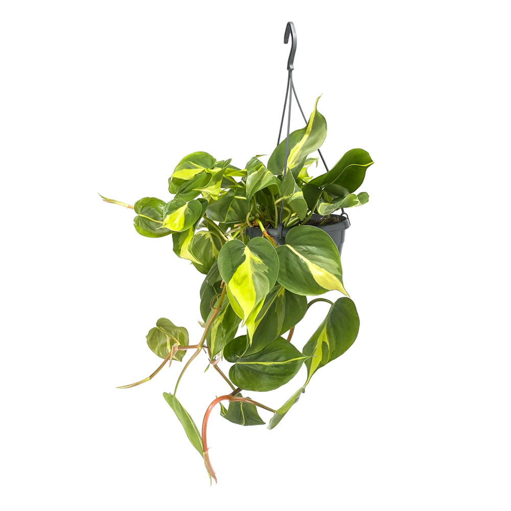 Philodendron Brasil Plant by Grace & Thorn | Do Shop