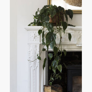 Philodendron Scanden Plant