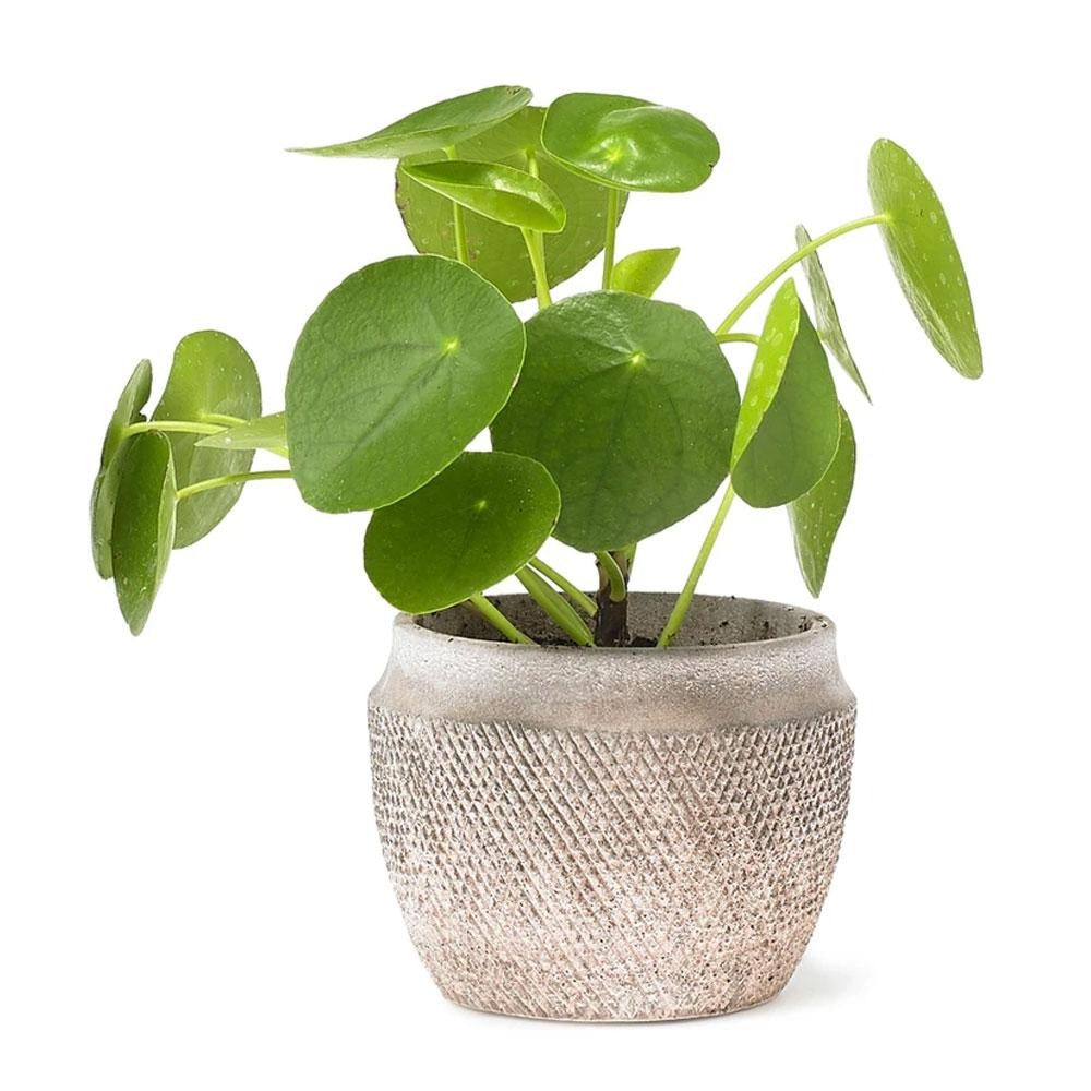 Chinese Money Plant (Pilea peperomioides) by Grace & Thorn | Do Shop