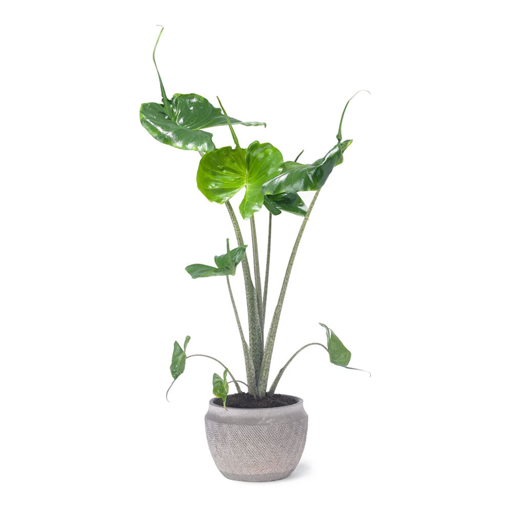 Stingray Alocasia Plant by Grace & Thorn | Do Shop