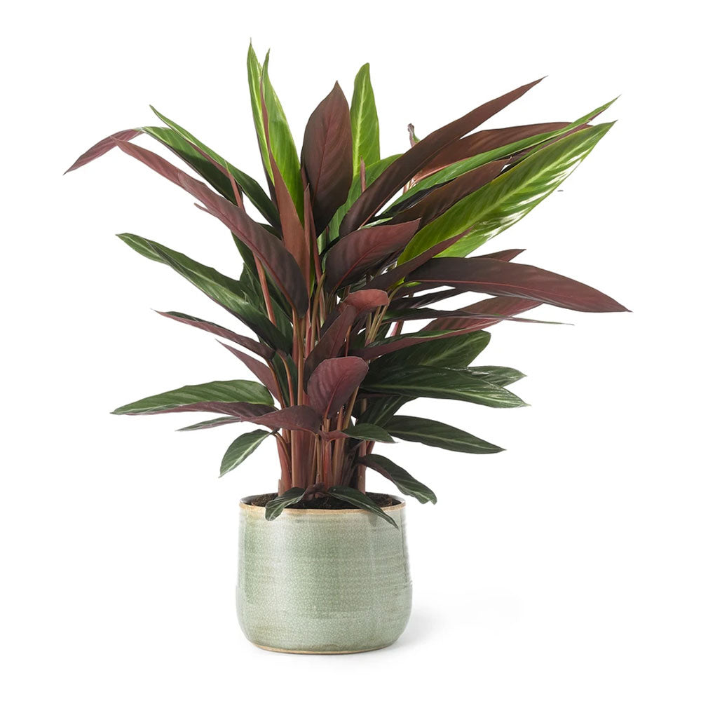 Calathea Stromanthe Plant by Grace & Thorn | Do Shop
