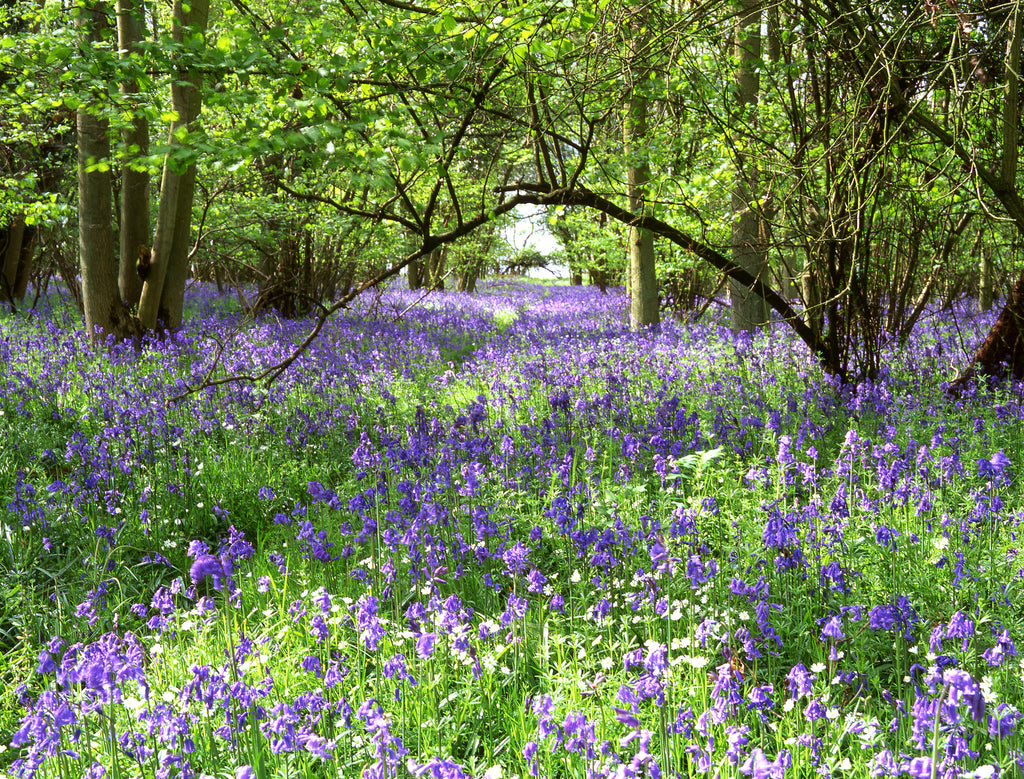 Bluebell Dream Print