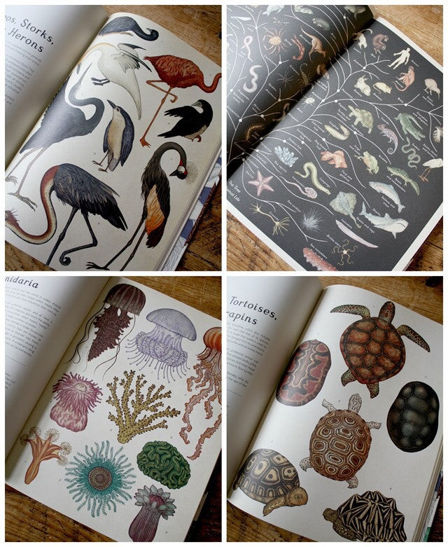 Animalium (Welcome To The Museum) by Jenny Broom
