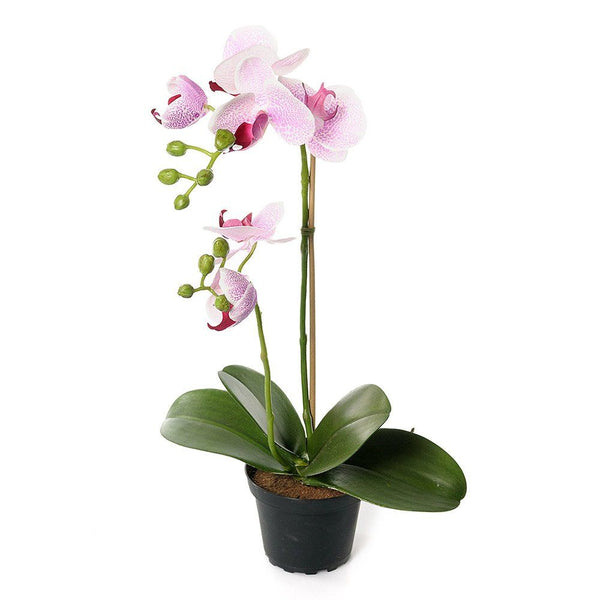 Orchid in Pot Pink