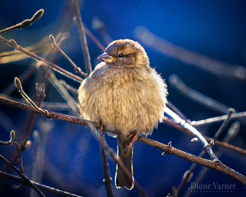 Chilly Winter Songbird