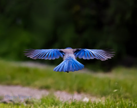 Feel Yourself Soar - California Scrub Jay