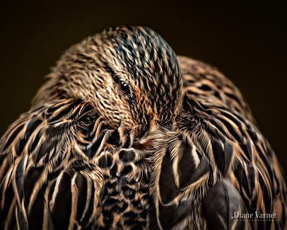 Peaceful, close-up portrait of resting duck, head tucked among soft feathers - DianeVarnerArt.com