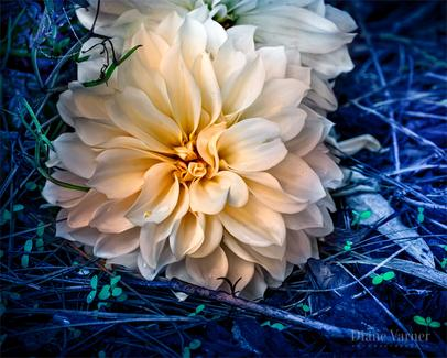 Beautiful, moody, white dahlia surrounded in deep blue tones with hints of green growth - DianeVarnerArt.com