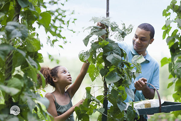A father and daughter pick beans in a community garden