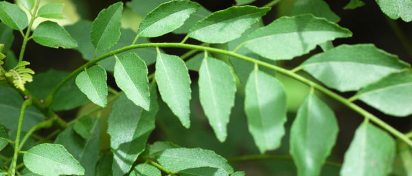 Fresh curry leaf gowing