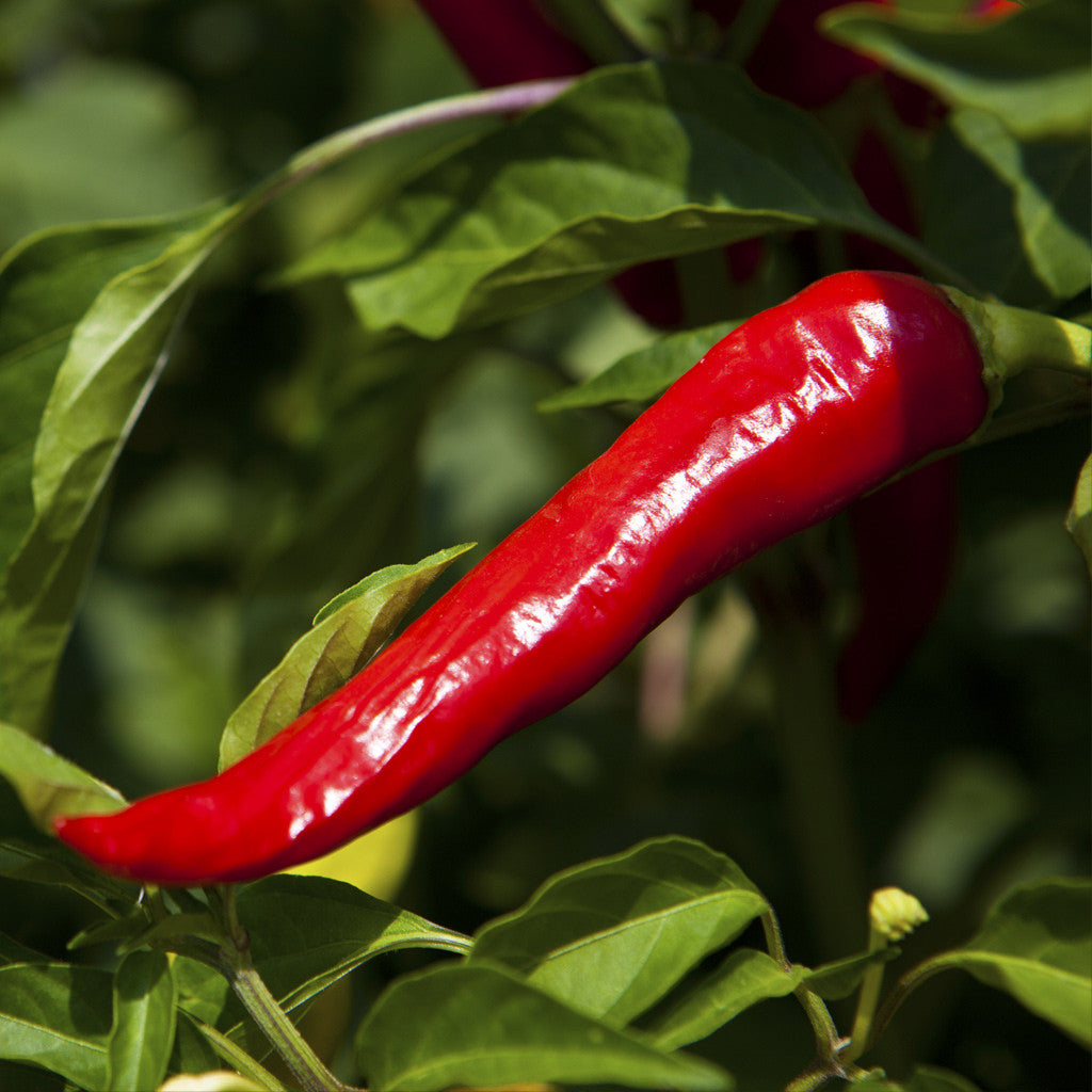 Chili Pepper Chas Organics