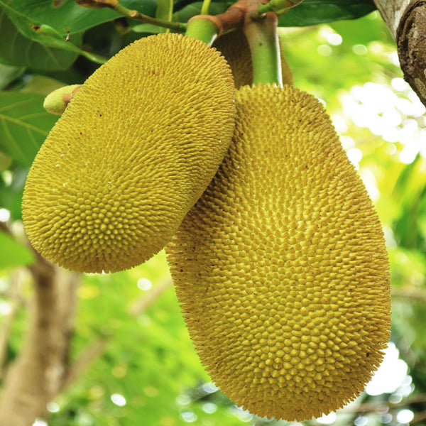Sweet Jackfruit (by the case)