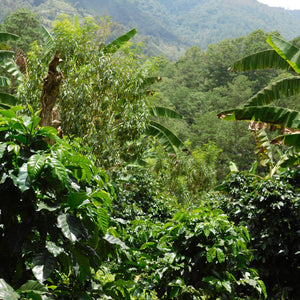 Honduras Siguatepeque Buen Pasteur Select - Green coffee - Serve Coffee