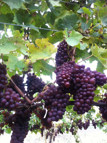 Pinot Gris grapes hanging from the vine.