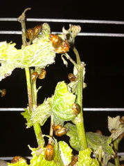 Beetles munching on vine shoots